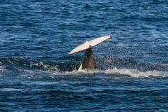 Zabójcy wieloryb, orka, Fotografia Royalty Free