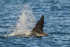 Zabójcy wieloryb, orka, Zdjęcia Stock