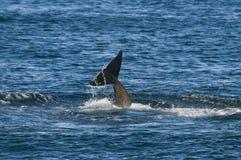 Zabójcy wieloryb, orka Zdjęcia Royalty Free