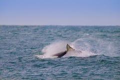 Zabójcy wieloryb, orka, Obrazy Stock