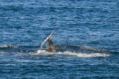 Zabójcy wieloryb, orka, Zdjęcie Royalty Free