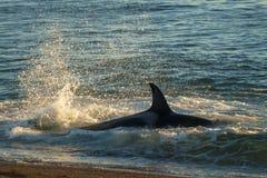 Zabójcy wieloryb, patagonia Obrazy Royalty Free