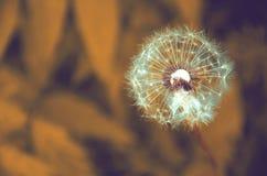Zabarwiający wizerunek dojrzewający dandelion ziarna obrazy royalty free