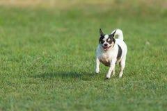 Zabawa pies, Szczęśliwi psy ma zabawę w polu, biega na polu Chihuahua Zdjęcia Royalty Free