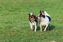 Zabawa pies, Szczęśliwi psy ma zabawę w polu, biega na polu Chihuahua Obraz Royalty Free