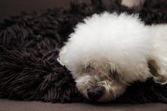 Zabawkarski kałuży zwierzę domowe Fotografia Royalty Free