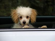 Zabawkarskiego pudla szczeniak w Samochodowym okno Obrazy Stock