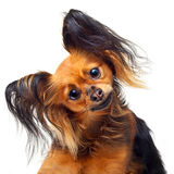 Zabawkarskiego teriera pies. Obrazy Stock