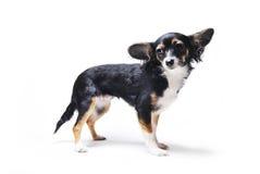 Zabawkarskiego teriera pies odizolowywający na białym tle Zdjęcie Royalty Free