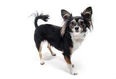 Zabawkarskiego teriera psa pozycja odizolowywająca na bielu Zdjęcie Royalty Free