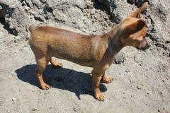 Zabawkarskiego teriera stojaki na piaskowatej plaży 31212 Zdjęcie Stock