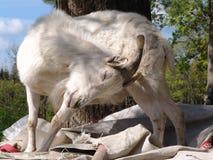 zabawna koza zdjęcie royalty free