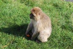 zabawna małpa Fotografia Royalty Free