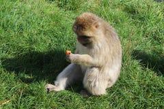 zabawna małpa Zdjęcie Royalty Free