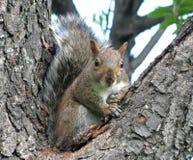 zabawna wiewiórka Zdjęcie Stock