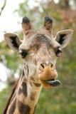 zabawna żyrafa Zdjęcie Stock