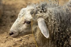 zabawne owce Portret barani seans obrazy royalty free