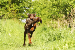 Zabawy doberman pinscher psa brown bieg z bażantem Zdjęcia Royalty Free