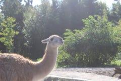 Zabawy Lama Obrazy Royalty Free