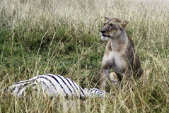 zabij lwie fotografia royalty free