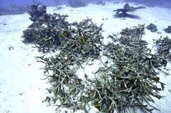 Zabity nieżywa rafa koralowa obrazy royalty free