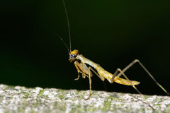 zabójca owadów Fotografia Royalty Free