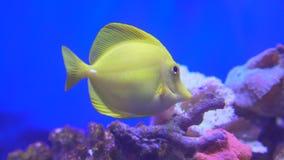Zabrasoma w wodzie: jaskrawa kolor żółty ryba pływa blisko koralowy podwodnego zbiory