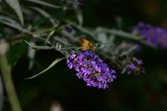 Zabulon Skipper Moth. Resting on purple flowers Royalty Free Stock Photos