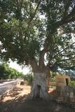 Zaccheus Sycamore Tree in Jericho Royalty Free Stock Photography
