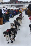 Zach Steer Begins the Yukon Quest. Zach Steer's dogs dash forward to attack the 1000 miles of wilderness between them and Whitehorse, Yukon, Canada Stock Image