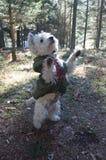 Zachodni średniogórze Biały Terrier Cieszy się dzień sportu Z Jego kamuflażu żakietem Wspinającym się Jego plecy łapy W pasmie gó obraz royalty free