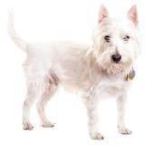 Zachodni średniogórza Biały Terrier Fotografia Royalty Free