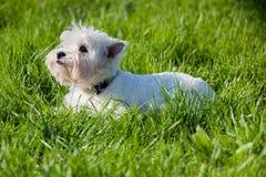 Zachodni średniogórze Biały Terrier kłama w zielonej trawie Zdjęcia Stock