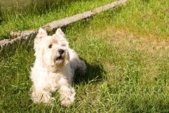 Zachodni średniogórze biały Terrier na zielonym gazonie zdjęcie stock