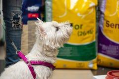 Zachodni średniogórze Biały Terrier patrzeje towary dla zwierząt domowych, w zwierzę domowe sklepie obrazy royalty free