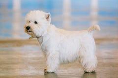 Zachodni średniogórze Biały Terrier, Westie, Westy, pies Zdjęcia Royalty Free