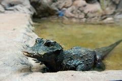 Zachodni - afrykanina karłowaty krokodyl Zdjęcia Royalty Free