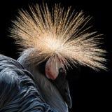 Zachodni - afrykanina Koronowany żuraw IV zdjęcia stock