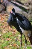 Zachodni - afrykanina Koronowany żuraw Zdjęcia Stock