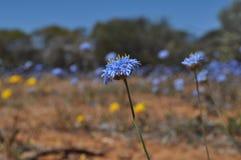 Zachodni Australijski wildflower fotografia royalty free