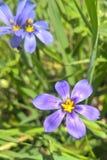 Zachodni błękit Przyglądająca się trawa Zdjęcie Royalty Free