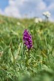 Zachodni bagno orchidei Dactylorhiza majalis zdjęcie royalty free