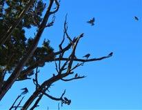 Zachodni Bluebirds zdjęcia royalty free