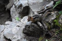 Zachodni Chipmunk, powiązany Tamias, Striatus, Sibiricus mała pasiasta rodzinny Sciuridae ślepuszonka, zakłada w Północna Ameryka fotografia stock