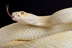 Zachodni diamondback grzechotnika Crotalus atrox albinos zdjęcia royalty free