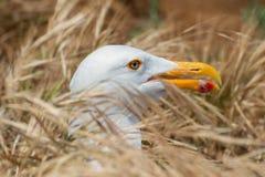 Zachodni frajer gniazduje w wysokiej trawie na Anacapa wyspie, channel islands park narodowy Zdjęcia Royalty Free