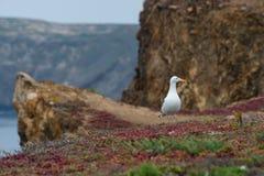 Zachodni frajer na Anacapa wyspie, channel islands park narodowy Zdjęcie Stock