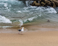 Zachodni frajer, Seagull odprowadzenie na plaży w Monterey Kalifornia, usa Zdjęcia Stock