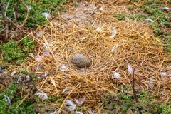 Zachodni frajera gniazdeczko, jajko i Obraz Stock