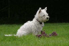 Zachodni Górski Terrier Obrazy Royalty Free